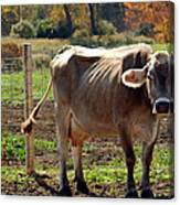 Low Cow Canvas Print