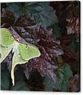 Luna Moth 1 Canvas Print