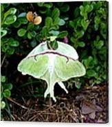 Luna Moths' Afternoon Delight Canvas Print