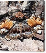 Lunate Zale Moth Canvas Print