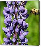 Lupine And Bee Canvas Print