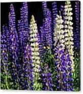 Lupine Flowers Canvas Print