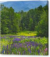 Lupine In Sugar Hill New Hampshire Canvas Print