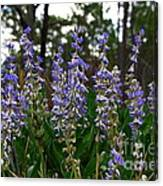Lupine Patch Canvas Print