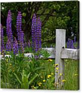 Lupines With Fence Canvas Print