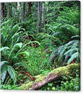 Lush Rain Forest In Olympic National Park Canvas Print