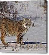 Lynx In Winter Canvas Print