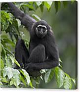 M�llers Bornean Gibbon Hylobates Canvas Print