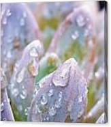 Macro Succulent With Droplets Canvas Print
