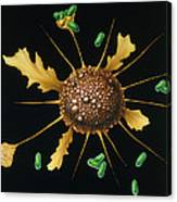Macrophage Engulfs Bacteria Canvas Print