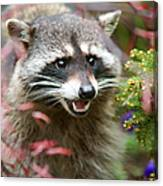 Mad Raccoon Canvas Print