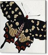 Madagascan Pipevine Swallowtail Butterfly Canvas Print
