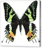 Madagascan Sunset Moth Canvas Print