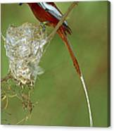 Madagascar Paradise Flycatcher Canvas Print