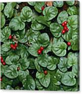 Madder Geophila Repens Fruiting Canvas Print