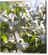 Magical White Flowering Dogwood Blossoms Canvas Print