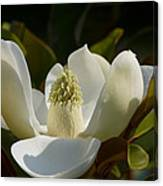 Magnificent Alabama Magnolia Blossom Canvas Print