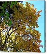 Magnificent Maples Canvas Print
