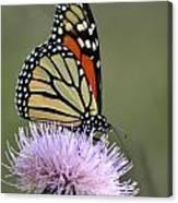 Magnificient Monarch Canvas Print
