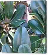 Magnolia Leaves 1 Canvas Print