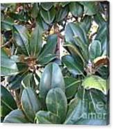 Magnolia Leaves 3 Canvas Print