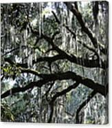 Magnolia Meets Live Oak Canvas Print