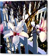 Magnolis's On A Picket Fence Canvas Print