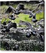 Magpie Geese In Flight Mcminn Lagoon Canvas Print