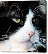 Maine Coon Face Canvas Print