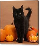 Maine Coon Kitten And Pumpkins Canvas Print
