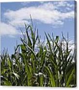 Maize Crop Canvas Print