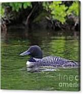 Majestic Loon Canvas Print