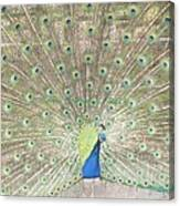 Majestic Peacock Canvas Print