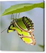 Malachite Butterfly On Leaf Canvas Print