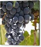 Malbec Grapes On The Vine Canvas Print