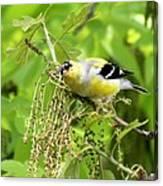 Male American Goldfinch 9245-i Canvas Print