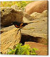 Male American Redstart On The Rocks Canvas Print