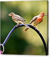 Male And Female House Finch Canvas Print