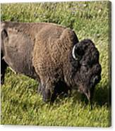 Male Bison Grazing  Canvas Print