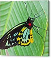 Male Cairns-birdwing Butterfly Canvas Print