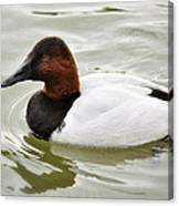 Male Canvasback Duck  Canvas Print