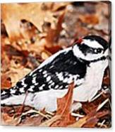 Male Downy Woodpecker 4 Canvas Print