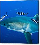 Male Great White Shark And Pilot Fish Canvas Print