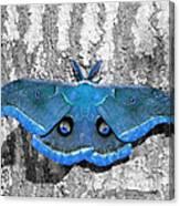 Male Moth Light Blue Canvas Print