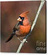 Male Northern Cardinal - D007813 Canvas Print