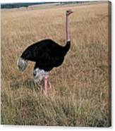 Male Ostrich With Eggs Canvas Print