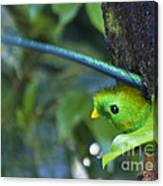 Male Quetzal Working On Nest Hole Canvas Print