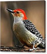 Male Red-bellied Woodpecker 4 Canvas Print