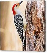 Male Red-bellied Woodpecker Canvas Print
