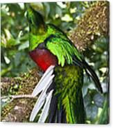 Male Resplendent Quetzal Canvas Print